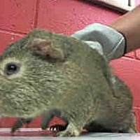 Adopt A Pet :: *Urgent* Nestle - Fullerton, CA