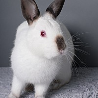 Adopt A Pet :: Smudge - Los Angeles, CA