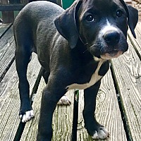 Border Collie/Hound (Unknown Type) Mix Puppy for adoption in Southbury, Connecticut - Rangler