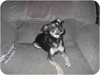 Chihuahua/Chinese Crested Mix Dog for adoption in Ortonville, Michigan - Spike