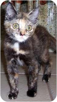 Domestic Shorthair Kitten for adoption in Oklahoma City, Oklahoma - China