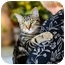 Photo 1 - American Shorthair Cat for adoption in Boynton Beach, Florida - Chicory