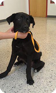 Labrador Retriever/Hound (Unknown Type) Mix Puppy for adoption in Cincinnati, Ohio - TJ