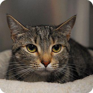 Domestic Shorthair Cat for adoption in Lunenburg, Massachusetts - Xena