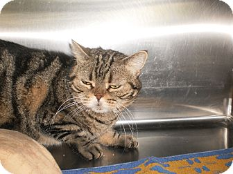American Shorthair Cat for adoption in Saint Albans, Vermont - Macy