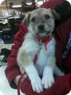 Great Pyrenees/Border Collie Mix Puppy for adoption in Ogden, Utah - Ellla
