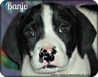Hound (Unknown Type)/Labrador Retriever Mix Puppy for adoption in South Plainfield, New Jersey - Banjo