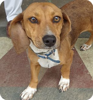 Dachshund Mix Dog for adoption in Centerville, Tennessee - Duchess