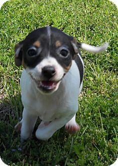 Rat Terrier Mix Puppy for adoption in Oklahoma City, Oklahoma - Miss Honeydew