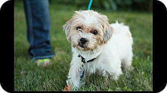 Shih Tzu Mix Dog for adoption in Lewis Center, Ohio - Daisy