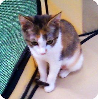 Calico Kitten for adoption in Concord, North Carolina - Toni
