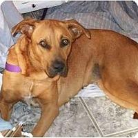 Adopt A Pet :: Cindy - miami beach, FL