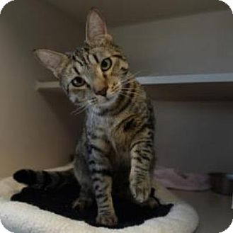 Domestic Shorthair Cat for adoption in Denver, Colorado - Merlin