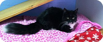 Domestic Mediumhair Cat for adoption in Springfield, Vermont - Dale