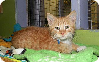 Domestic Shorthair Kitten for adoption in Dover, Ohio - Swizz