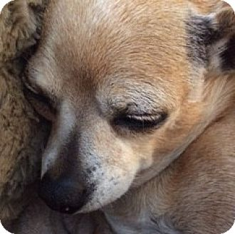 Chihuahua Dog for adoption in San Marcos, California - Charlotte