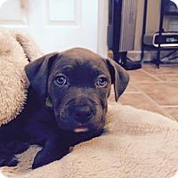 Adopt A Pet :: Lucy - Laingsburg, MI