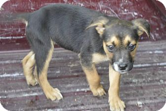 Terrier (Unknown Type, Small) Mix Puppy for adoption in Miami, Oklahoma - Gemma