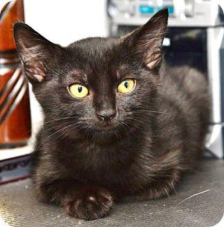 Domestic Mediumhair Kitten for adoption in Davis, California - Rosebud