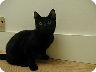Domestic Shorthair Cat for adoption in Milwaukee, Wisconsin - Murdock