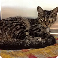 Adopt A Pet :: Shakira - New Port Richey, FL