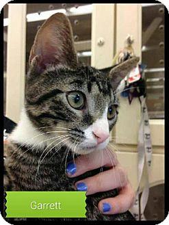 Domestic Shorthair Cat for adoption in Balto, Maryland - Garrett