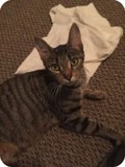 Domestic Shorthair Cat for adoption in Livonia, Michigan - Bella