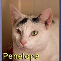 Domestic Shorthair Cat for adoption in Aldie, Virginia - Penelope