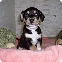 Adopt A Pet :: Baby Hans - Augusta County, VA