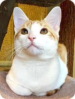 Domestic Shorthair Cat for adoption in Columbia, Maryland - George and Reese