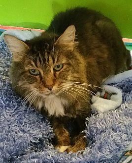 Domestic Longhair Cat for adoption in Los Angeles, California - Tarzan