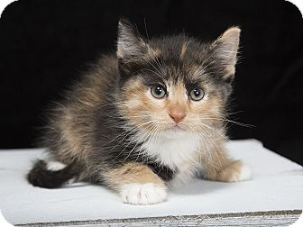 Maine Coon Kitten for adoption in Nashville, Tennessee - Squash