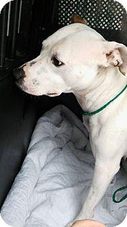 Pit Bull Terrier/Mixed Breed (Medium) Mix Dog for adoption in Cheboygan, Michigan - CHARDONNAY