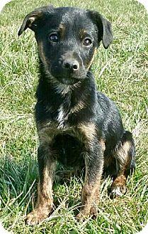"German Shepherd Dog/Labrador Retriever Mix Puppy for adoption in Oswego, Illinois - I'M ADOPTED Dreamers ""Fuji"""
