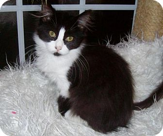 Maine Coon Kitten for adoption in Trenton, New Jersey - CiCi