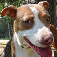 Adopt A Pet :: Gwen 6-1-17 - Bulverde, TX
