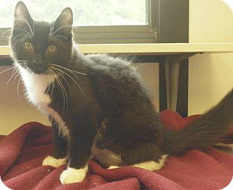 Domestic Longhair Kitten for adoption in Manning, South Carolina - Pongo