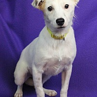 Adopt A Pet :: Whisper - Westminster, CO