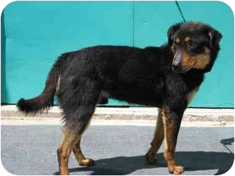 Rottweiler/German Shepherd Dog Mix Dog for adoption in Gallup, New Mexico - Sweetheart