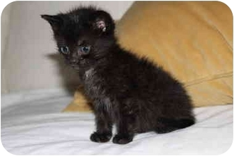 Domestic Mediumhair Kitten for adoption in Plymouth, Massachusetts - Olive and Oliver