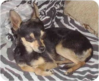 Miniature Pinscher/Chihuahua Mix Dog for adoption in San Marcos, California - Princess