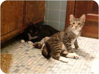 Domestic Shorthair Kitten for adoption in Westfield, Massachusetts - Milo