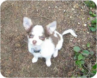 Chihuahua Dog for adoption in Seattle, Washington - Rico #309