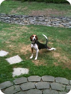 Basset Hound/Foxhound Mix Dog for adoption in Williamsville, New York - Home for the Holidays?