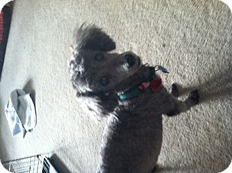 Poodle (Miniature) Dog for adoption in Council Bluffs, Iowa - Toby