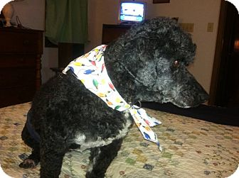 Poodle (Miniature) Dog for adoption in MARION, Virginia - Coco (Coutesy Listing)