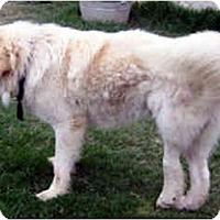 Adopt A Pet :: Gandolf - Kyle, TX