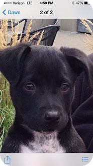 Labrador Retriever/Shepherd (Unknown Type) Mix Puppy for adoption in Rochester, Michigan - Luke