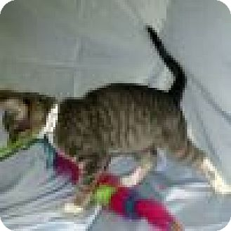 Domestic Shorthair Cat for adoption in Powell, Ohio - Willy