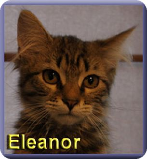 Maine Coon Kitten for adoption in Aldie, Virginia - Eleanor